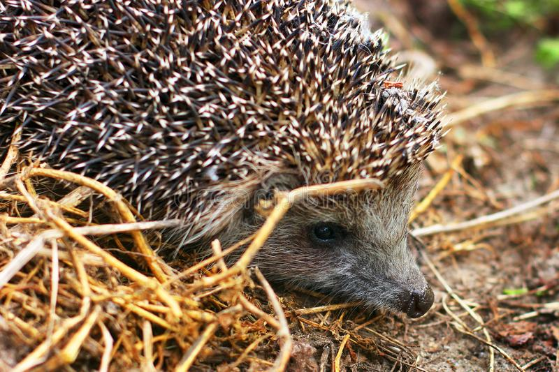 Hedgehog in the garden. Hedgehog close up.  royalty free stock photo