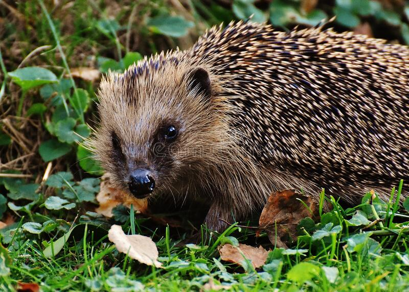 Hedgehog in a garden stock photography