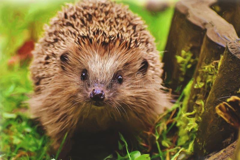 Hedgehog in a garden stock photography