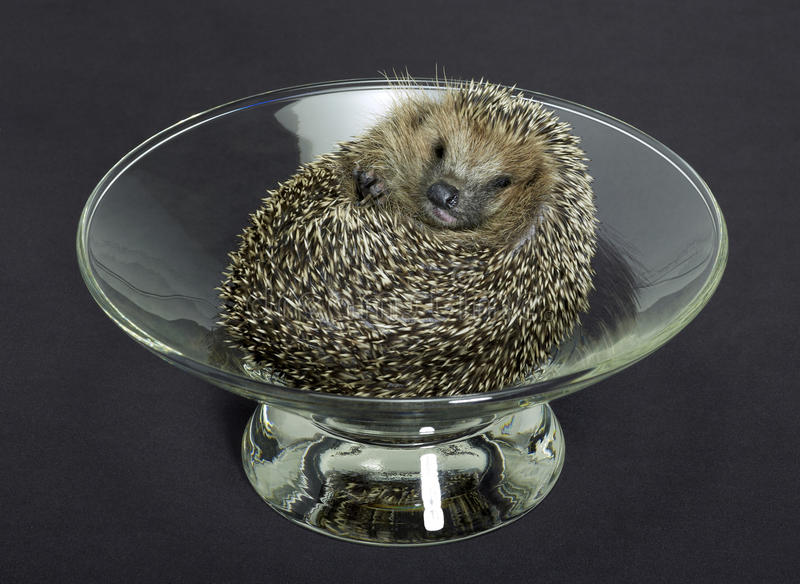 Hedgehog in a glass bowl stock photography