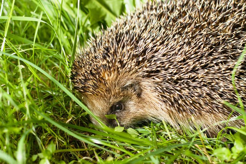 Hedgehog in grass. Close up on a head of common hedgehog crawling in green grass royalty free stock photos