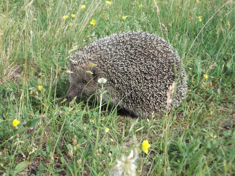 The Hedgehog in the grass. The Cute,small,lonely hedgehog roaming in the grass royalty free stock images