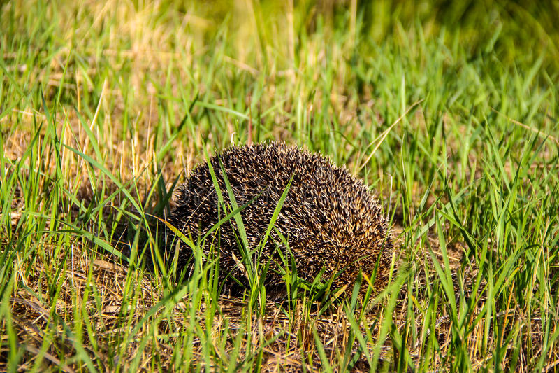 Hedgehog In The Grass. Royalty Free Stock Images
