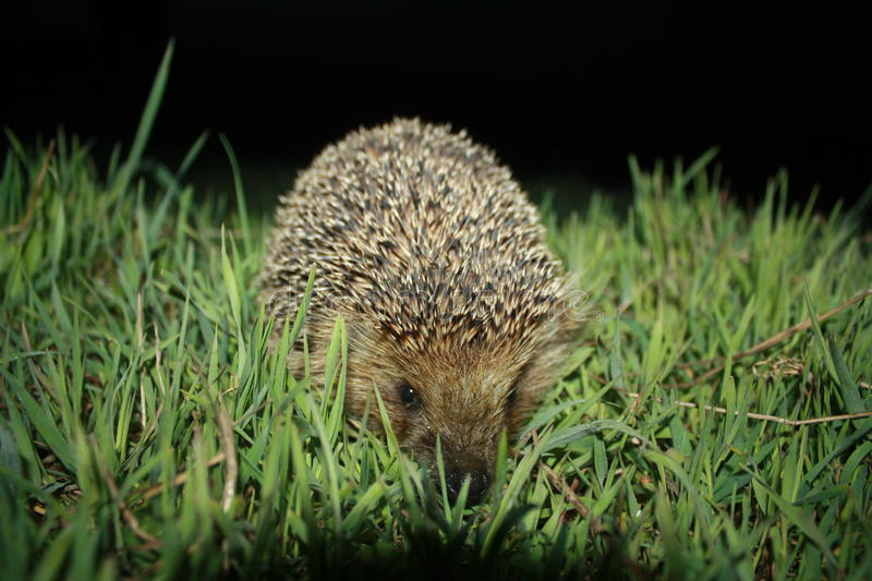 Hedgehog in grass stock images