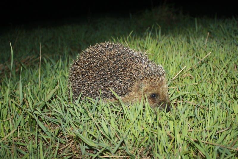 Hedgehog in grass stock photo