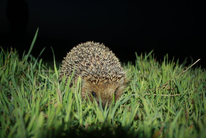 Hedgehog in grass stock photos