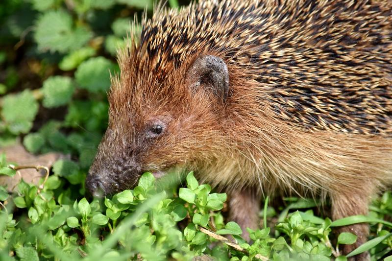Hedgehog on the Grass Spring Animal Head Portrait Stock Photo. Hedgehog on the Grass Spring Animals Head Portrait Stock Photo royalty free stock images