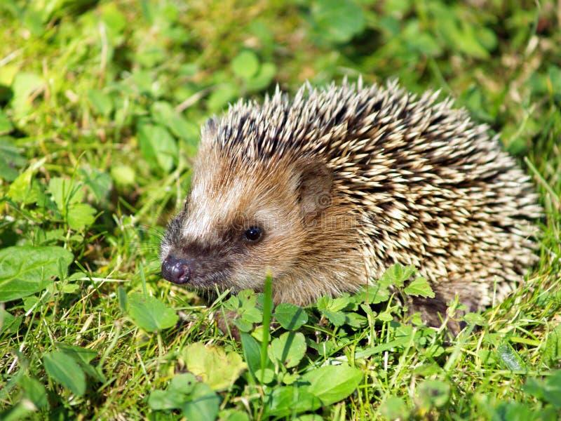 Download Hedgehog on green grass stock image. Image of animal - 26208595