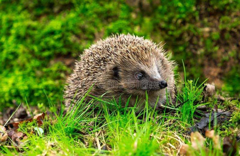 Hedgehog in green grass facing forwards with head up. Hedgehog, a native wild European Hedgehog foraging in green grass and facing forwards with head up. Green stock photos