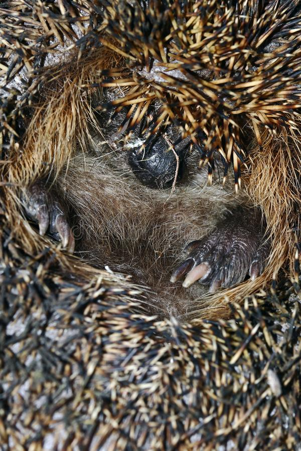 A hedgehog has rolled in to protect himself royalty free stock image