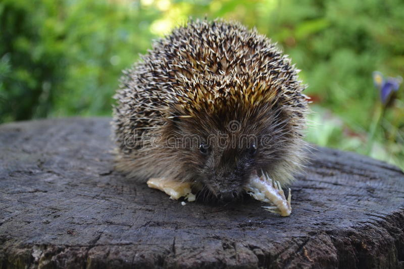 A hedgehog, hedgehog eats. A hedgehog eats fish. This beautiful hedgehog lives in our garden and we him sometimes feed with a delicious meal royalty free stock photo