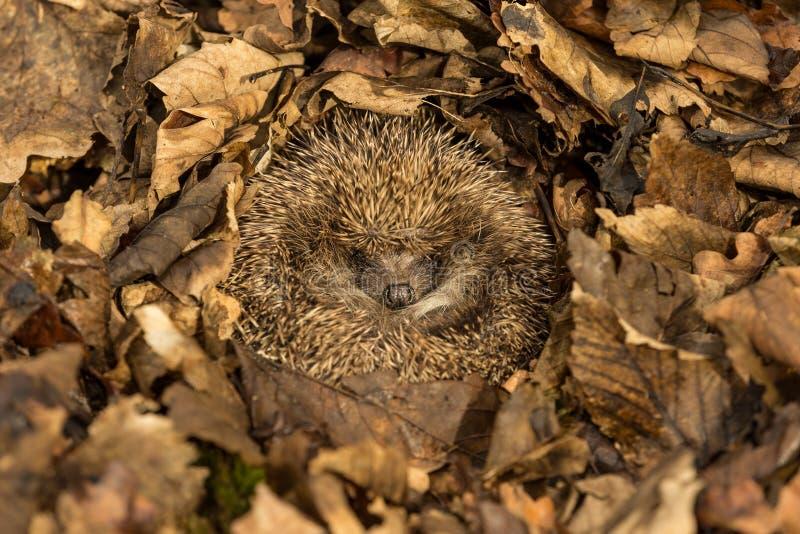 Hedgehog hibernating in golden brown Autumn leaves stock image