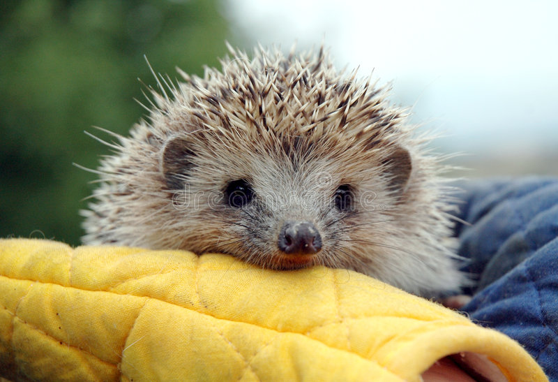 Hedgehog in human hands royalty free stock photo