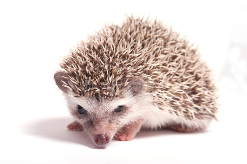 Download Hedgehog Isolate On White Background Stock Photography - Image: 28748732
