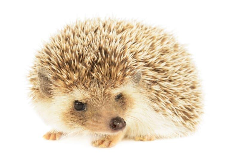 Download Hedgehog stock photo. Image of hedgehog, background, white - 30890062