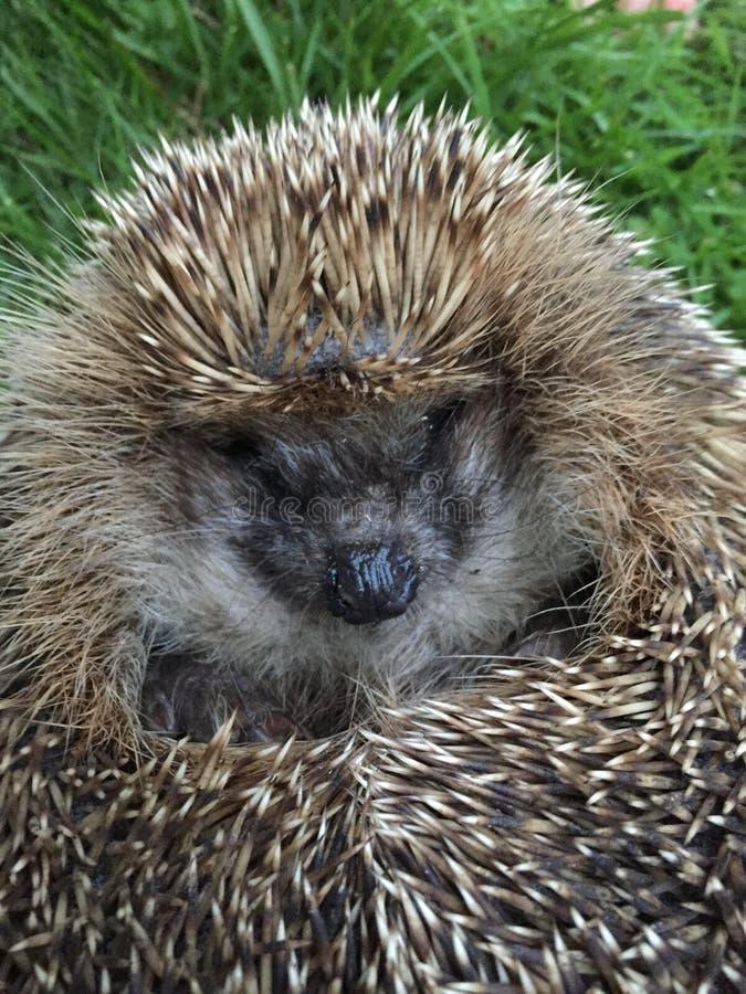 hedgehog royalty-vrije stock foto's