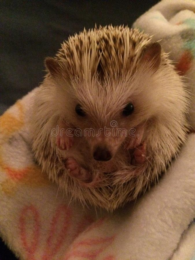 hedgehog royalty-vrije stock foto