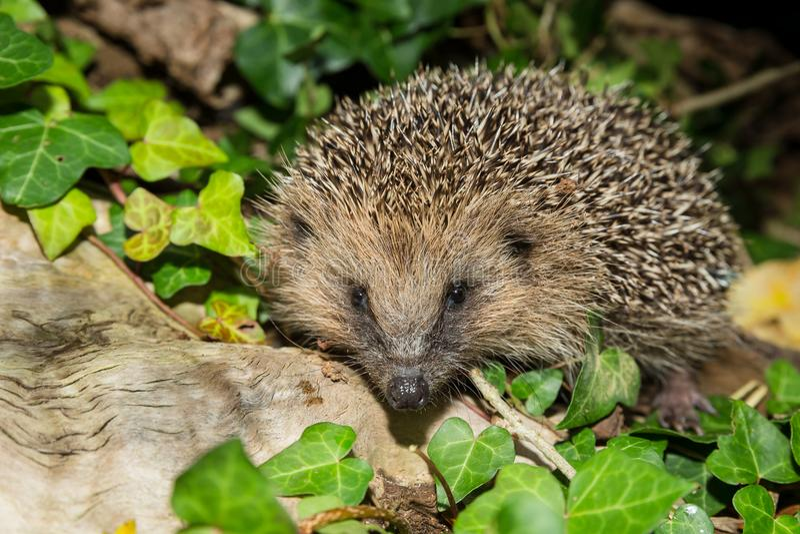 Hedgehog on a log covered with green ivy. Hedgehog, Native, wild, adult European hedgehog on a log covered with green ivy. Landscape. Facing forwards. Erinaceous stock images