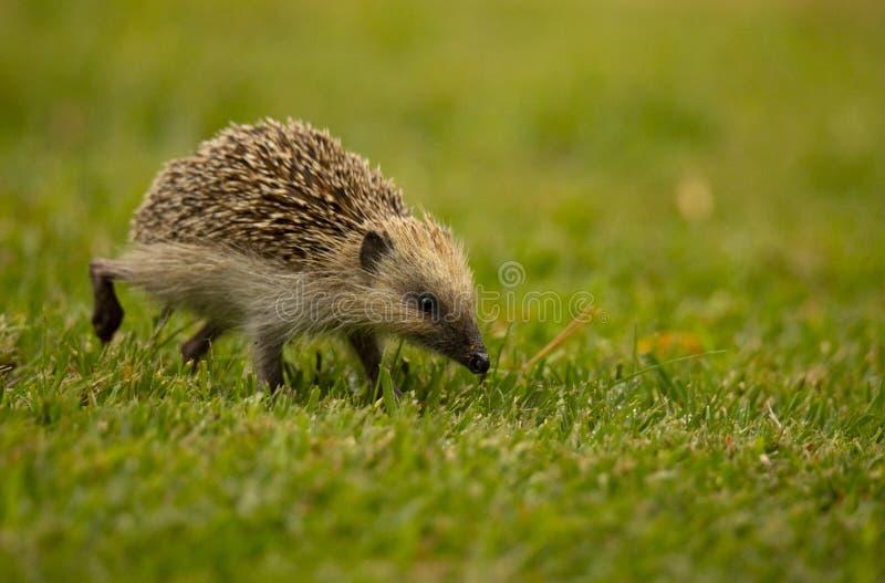 An Hedgehog looking for food in my backyard garden, Povoa de Lanhoso. stock image