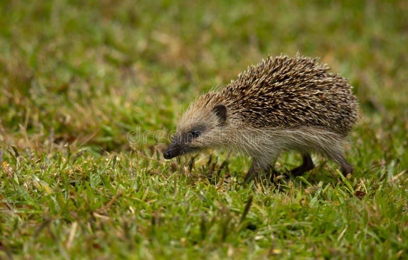 An Hedgehog looking for food in my backyard garden, Povoa de Lanhoso. royalty free stock photos