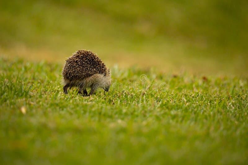 An Hedgehog looking for food in my backyard garden, Povoa de Lanhoso. stock photo