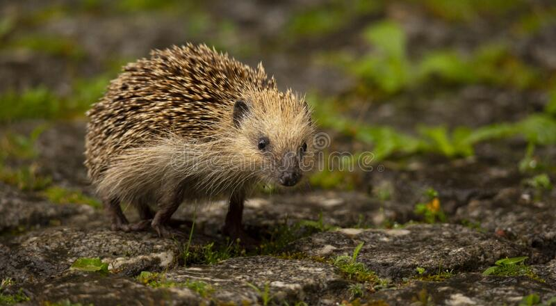 An Hedgehog looking for food in my backyard garden, Povoa de Lanhoso. royalty free stock photography