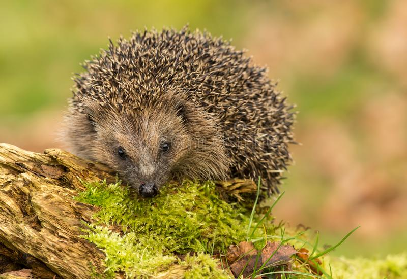 Hedgehog on moss covered log facing forwards. Hedgehog, Erinaceus Europaeus a native, wild European Hedgehog on green moss covered log and facing forwards royalty free stock photo