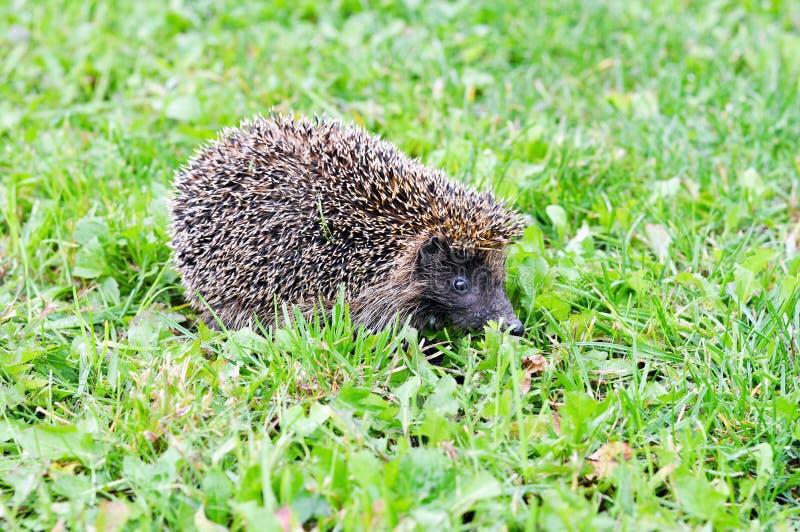 Hedgehog na grama verde imagem de stock royalty free