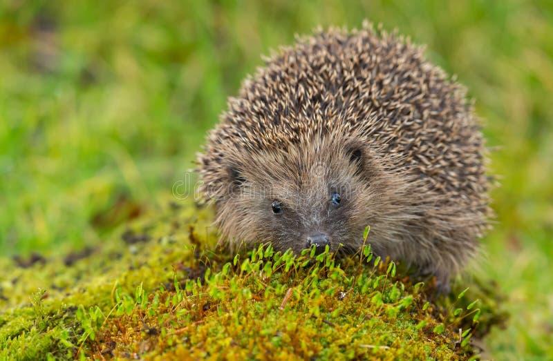 Hedgehog, native, wild UK hedgehog stood on a green moss, facing forwards. UK, European wild hedgehog Erinaceous europaeous which is stood on a green moss stock photography