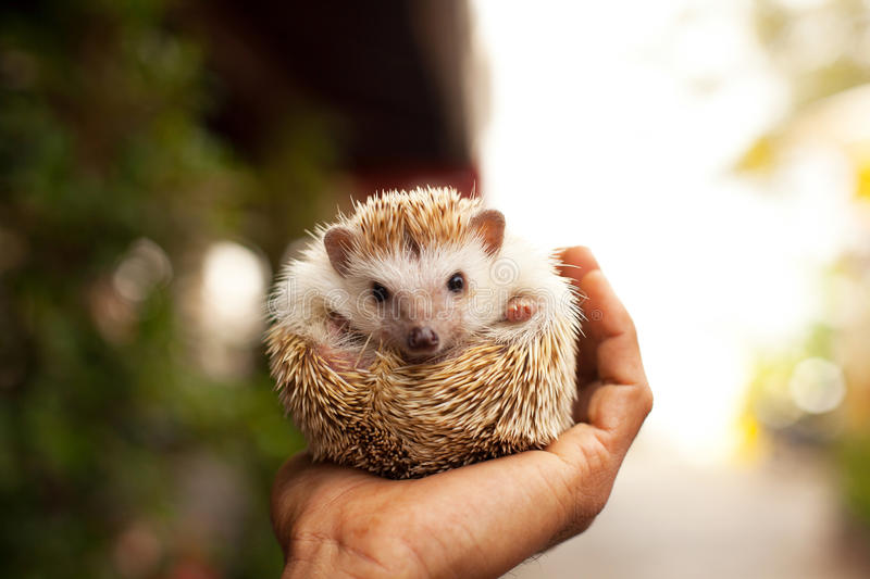 Hedgehog in the palm royalty free stock images