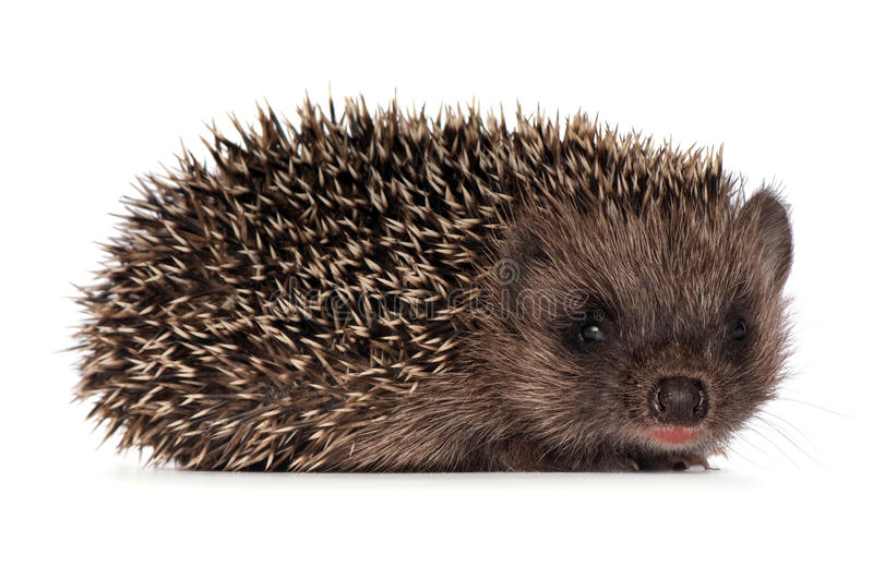 Hedgehog pequeno fotos de stock royalty free