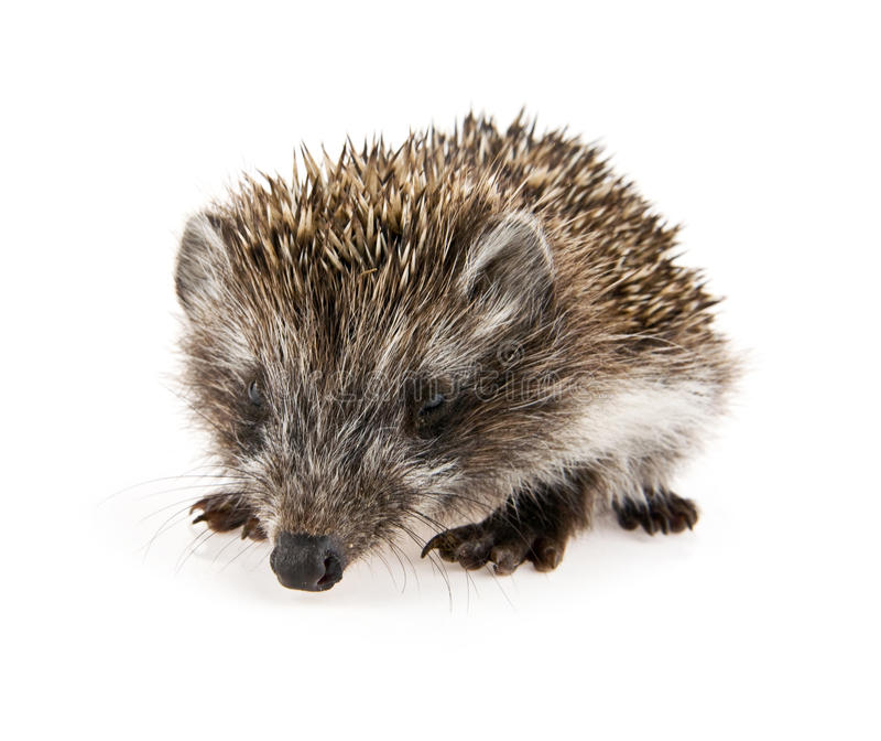 Hedgehog pequeno imagem de stock royalty free