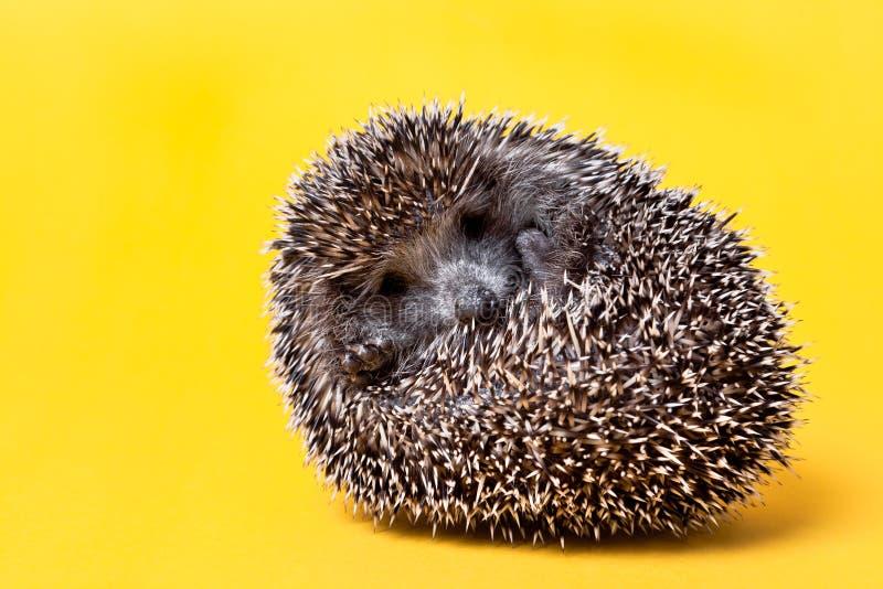 Hedgehog pequeno bonito isolado no amarelo fotos de stock royalty free