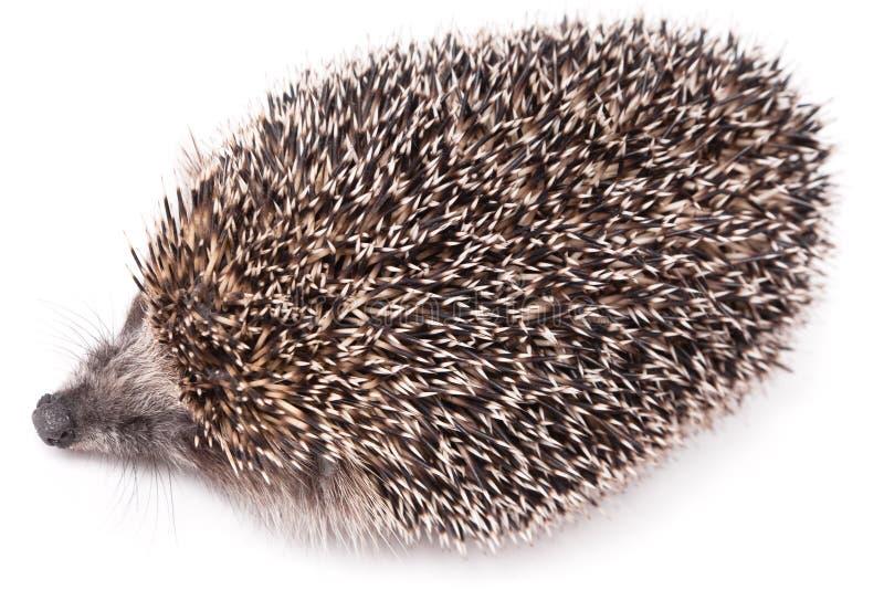 Hedgehog pequeno bonito isolado no branco fotos de stock