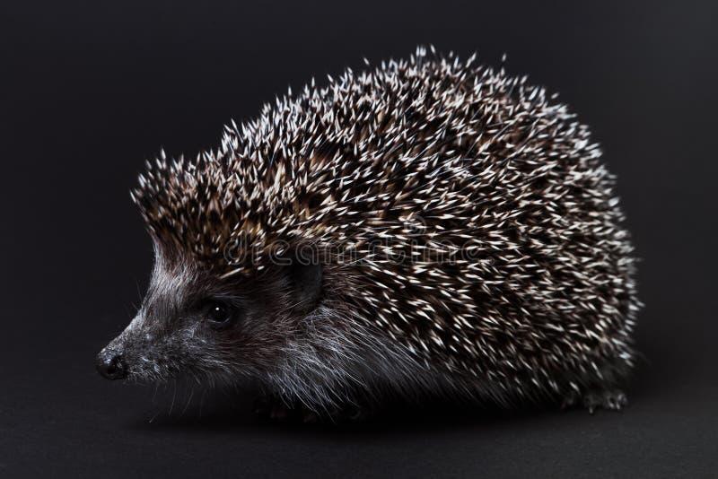 Hedgehog pequeno bonito isolado no preto imagem de stock