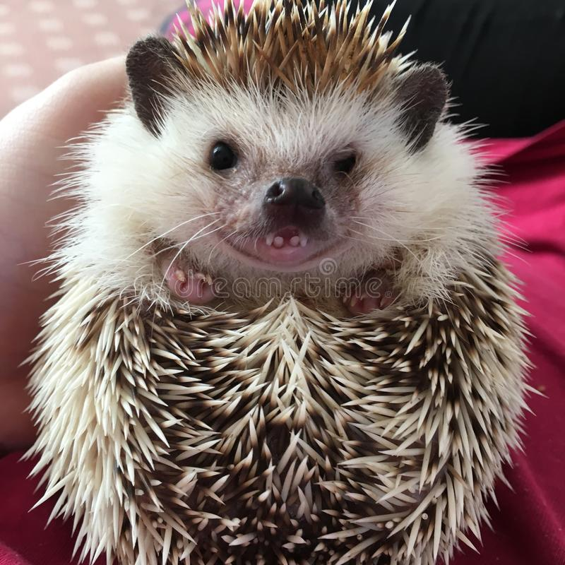 Hedgehog Pet Showing Teeth While Relaxed On It`s Back royalty free stock image