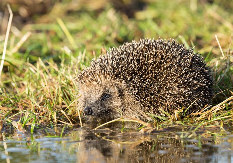 Hedgehog at a pool to drink water. Wild, native, European hedgehog stock photo