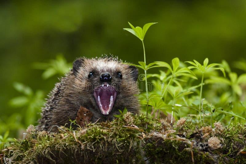 Hedgehog que mostra os dentes imagem de stock