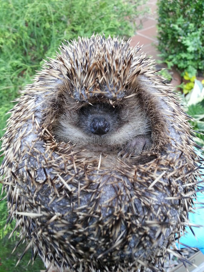 Hedgehog rolled in ball. Close up in garden stock photos