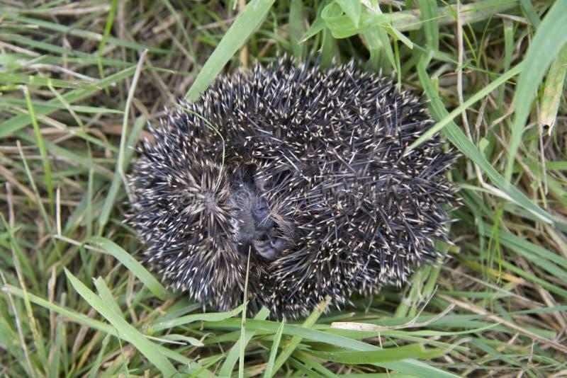 Hedgehog Rolls Itself In Danger In The Grass Stock Images