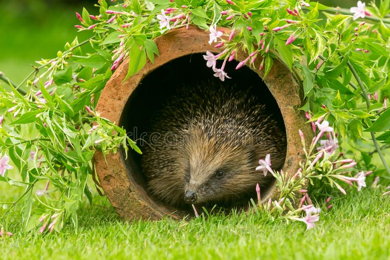 Hedgehog, wild, native, European hedgehog in natural garden habitat with colourful summer flowers. Hedgehog, Scientific name: Erinaceus Europaeus  a wild, native royalty free stock photo