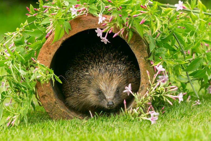 Hedgehog, wild, native, European hedgehog in natural garden habitat with colourful summer flowers. Hedgehog, Scientific name: Erinaceus Europaeus  a wild, native stock photos