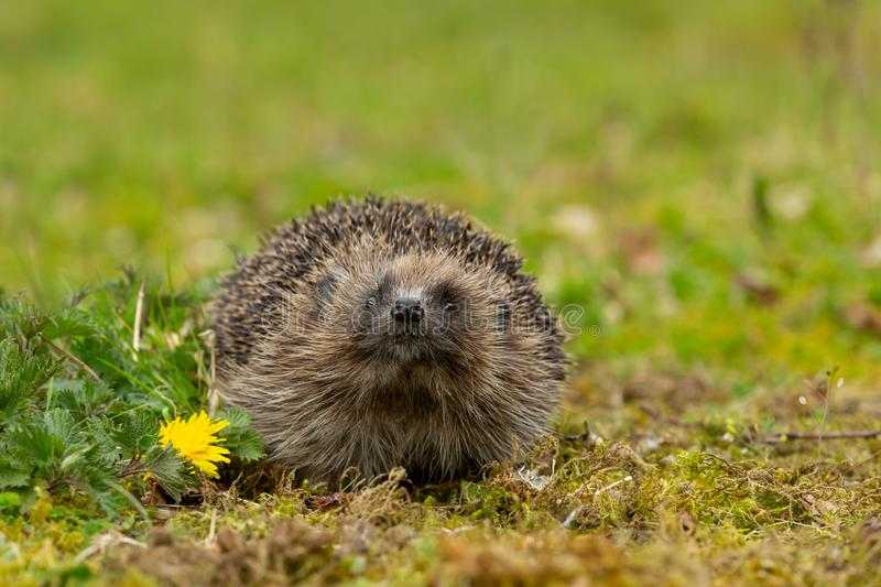 Hedgehog sniffing the air in Springtime with yellow dandelion. stock photos
