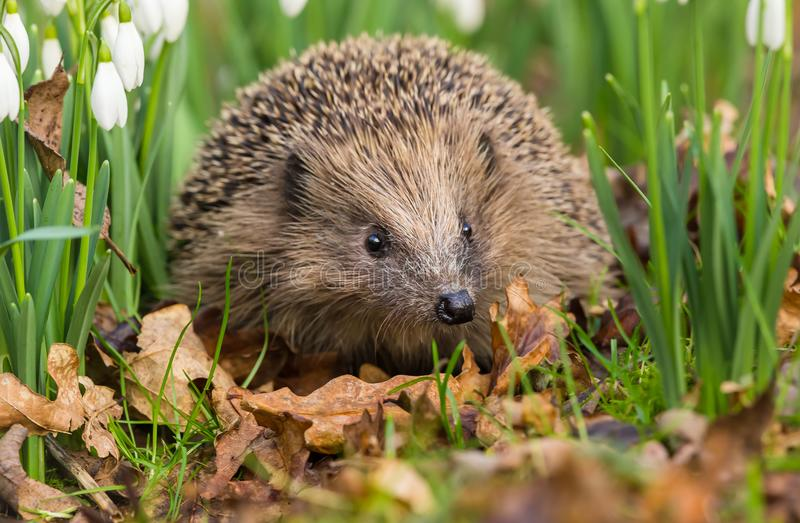 Hedgehog in snowdrops facing forwards. Hedgehog, a native wild European Hedgehog surrounded by snowdrops and golden leaves. Facing forwards. Landscape stock photo