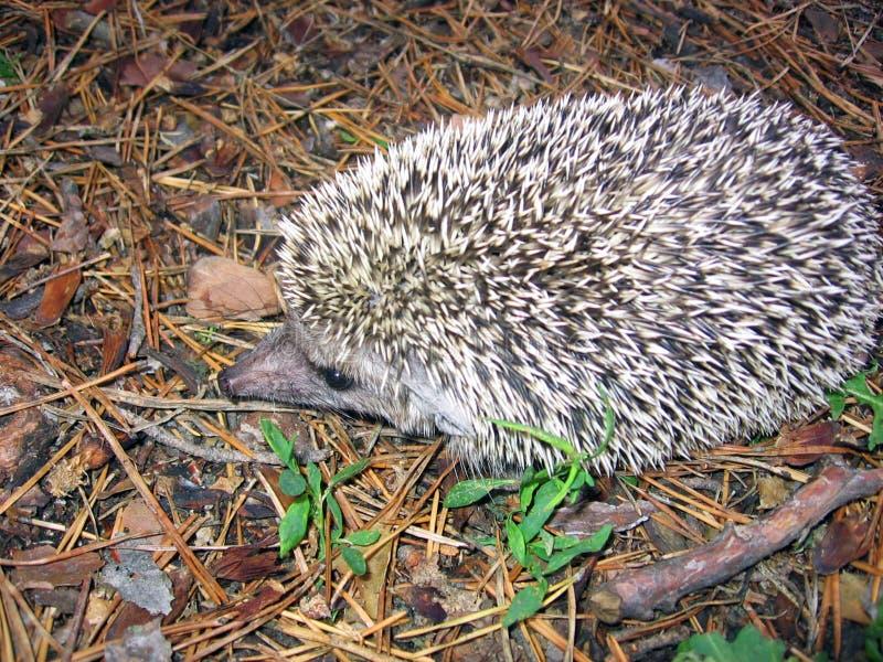 Hedgehog on spruce needles background stock image