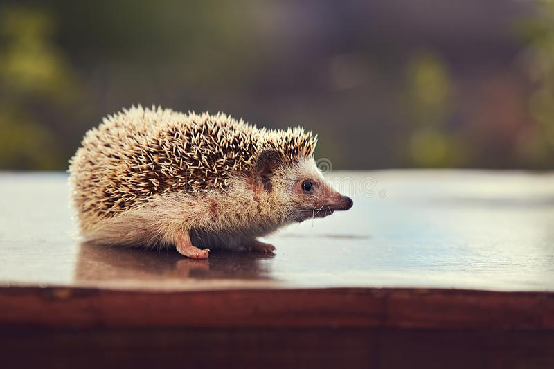 Hedgehog on the table royalty free stock photo
