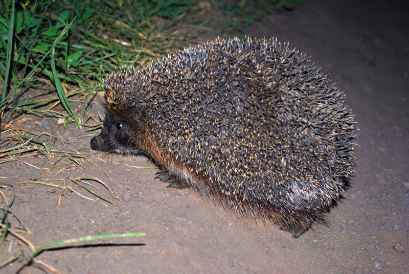Hedgehog walking in the dark, side view, blurry grass and soil background. Hedgehog walking in the dark, side view, blurry green grass and gray soil background stock image
