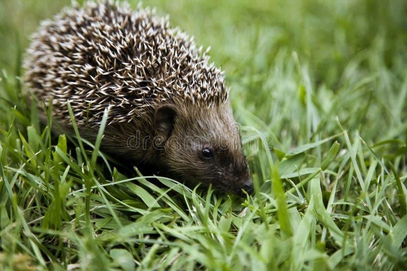 Hedgehog walking on grass stock image