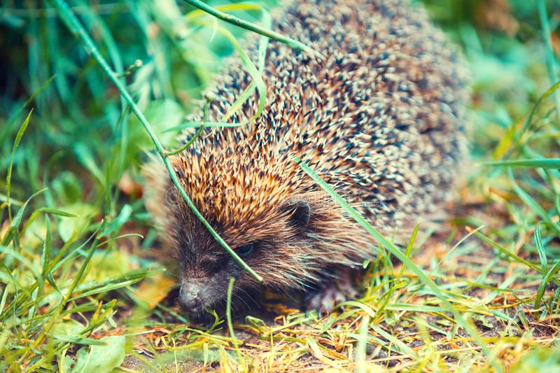 Hedgehog walking in the grass stock photography