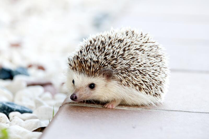Hedgehog on walkway stock photo